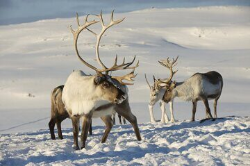 Deer_Winter_Horns_Snow_467110